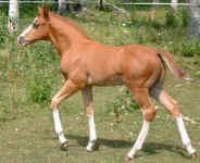 Stallion Prospect